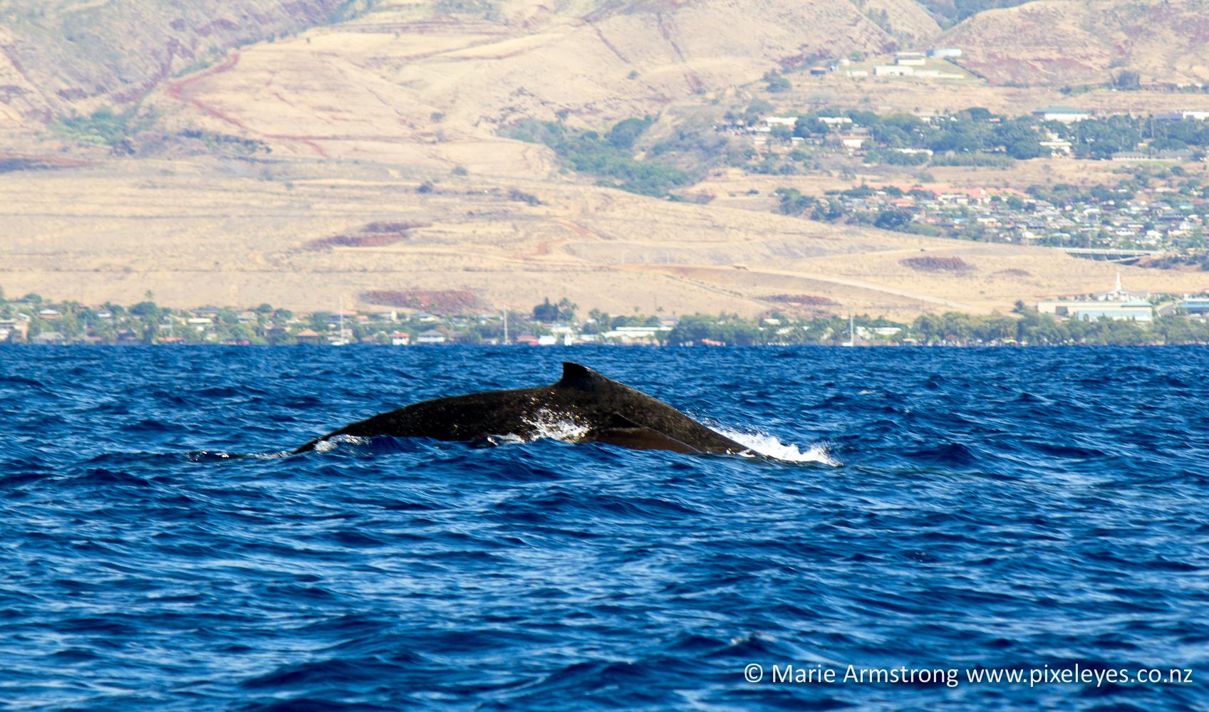 Humpback whales – Hawaii Part 8